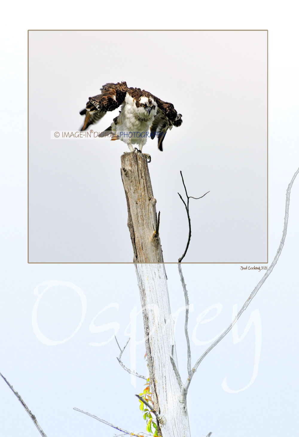 Just Looking (Osprey)