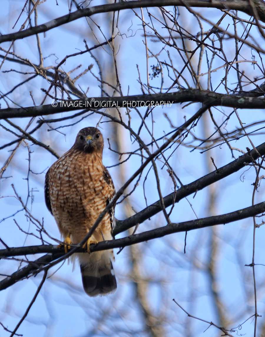 Red-shouldered Hawk Picture